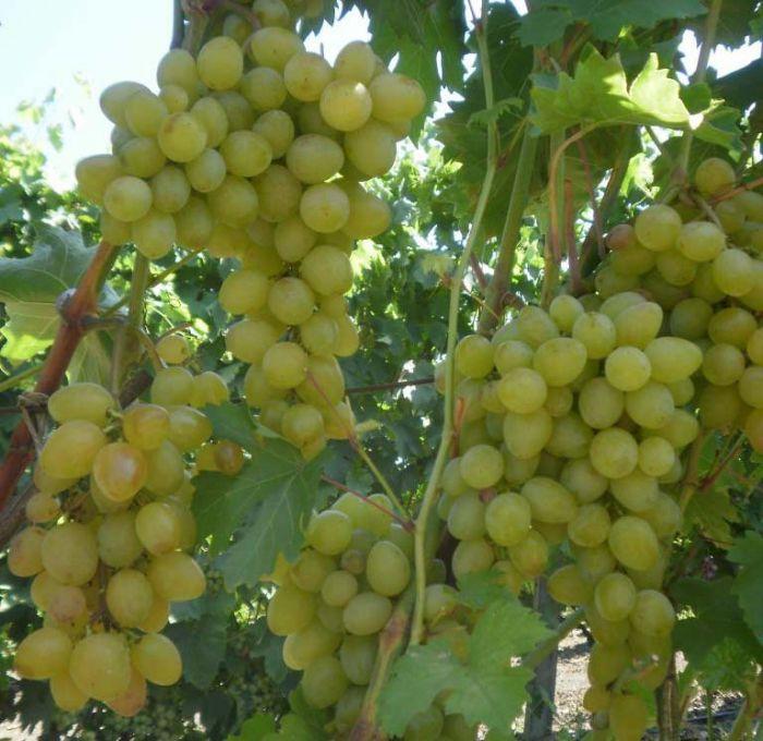 оказывалась такой сорта винограда в пензенской области фото мужчины народ более